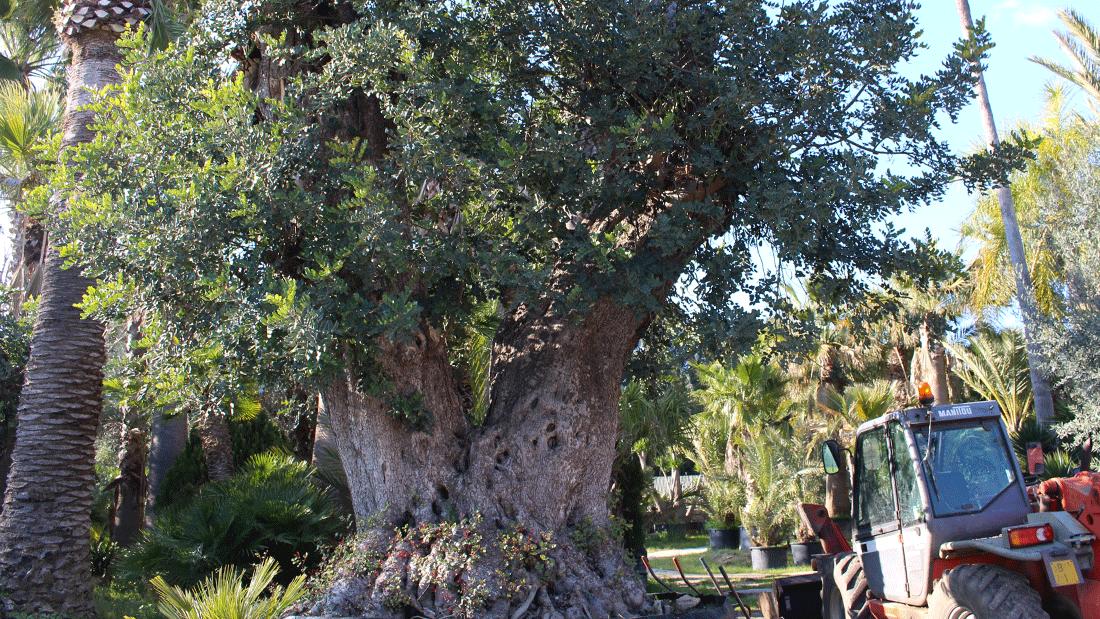 cerchi un albero di carrubo per il tuo giardino vivai
